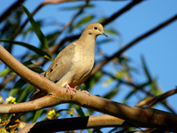 Mourning Dove #2