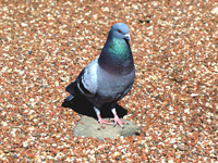 Rock Pigeon On a Rock