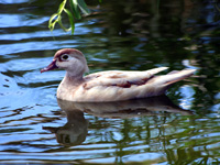 Leucistic Wood Duck