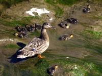 Mallard Hen and Ducklings