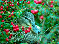 Mallard in Berries