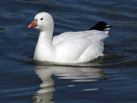 Ross' Goose Swimming