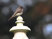 BlackPhoebe on a Cement Decoration