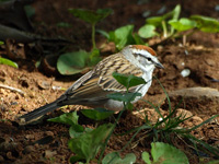 Chipping Sparrow #2