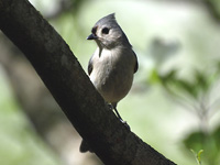 Tufted Titmouse #2