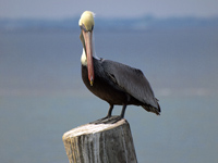 Brown Pelican #3