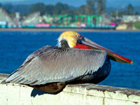 Brown Pelican #4
