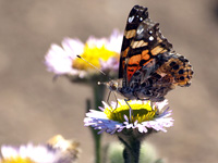 Painted Lady on a Sea Daisy