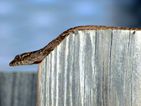Anole on a Fence